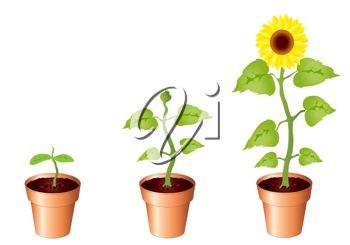 350x245 Clip Art Illustration Of Sunflowers Growing