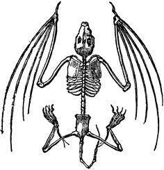 236x245 Antique Images Free Halloween Clip Art Bat Skeleton Illustration