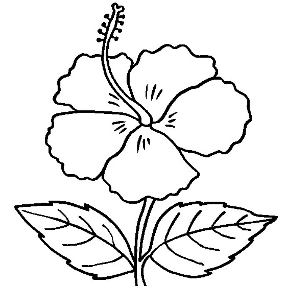 950x950 Free Printable Hibiscus Coloring Pages For Kids Hawaiian Flower Outline Best
