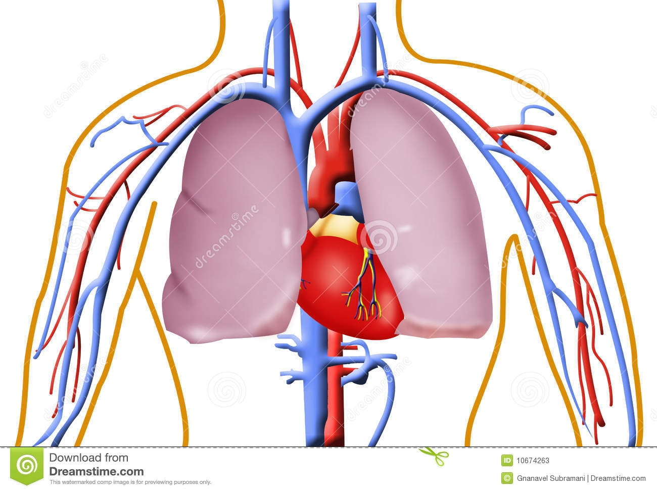 1300x974 Heart And Lung Clipart