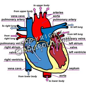 300x300 The Heart Of Clipart