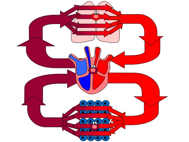 638x479 Aqa Heart Lungs Blood