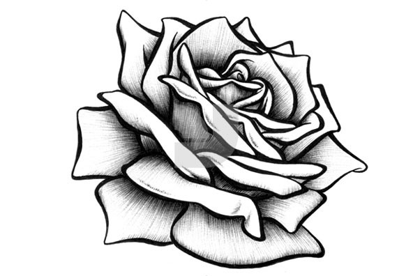 592x396 Drawn rose