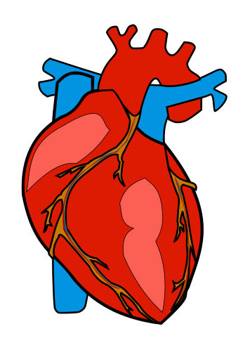 356x488 Human Heart Clip Art Clipart Photo