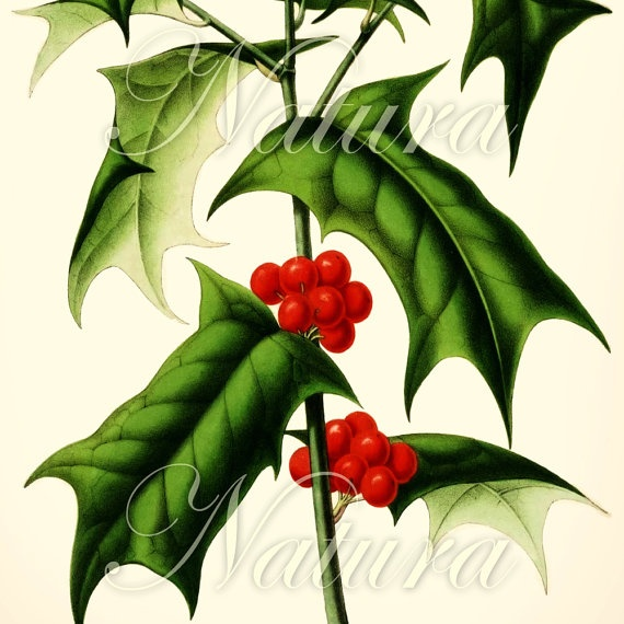 Holly Genus