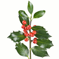 195x195 Meaning Of Holly Plants What Do Holly Flowers Mean