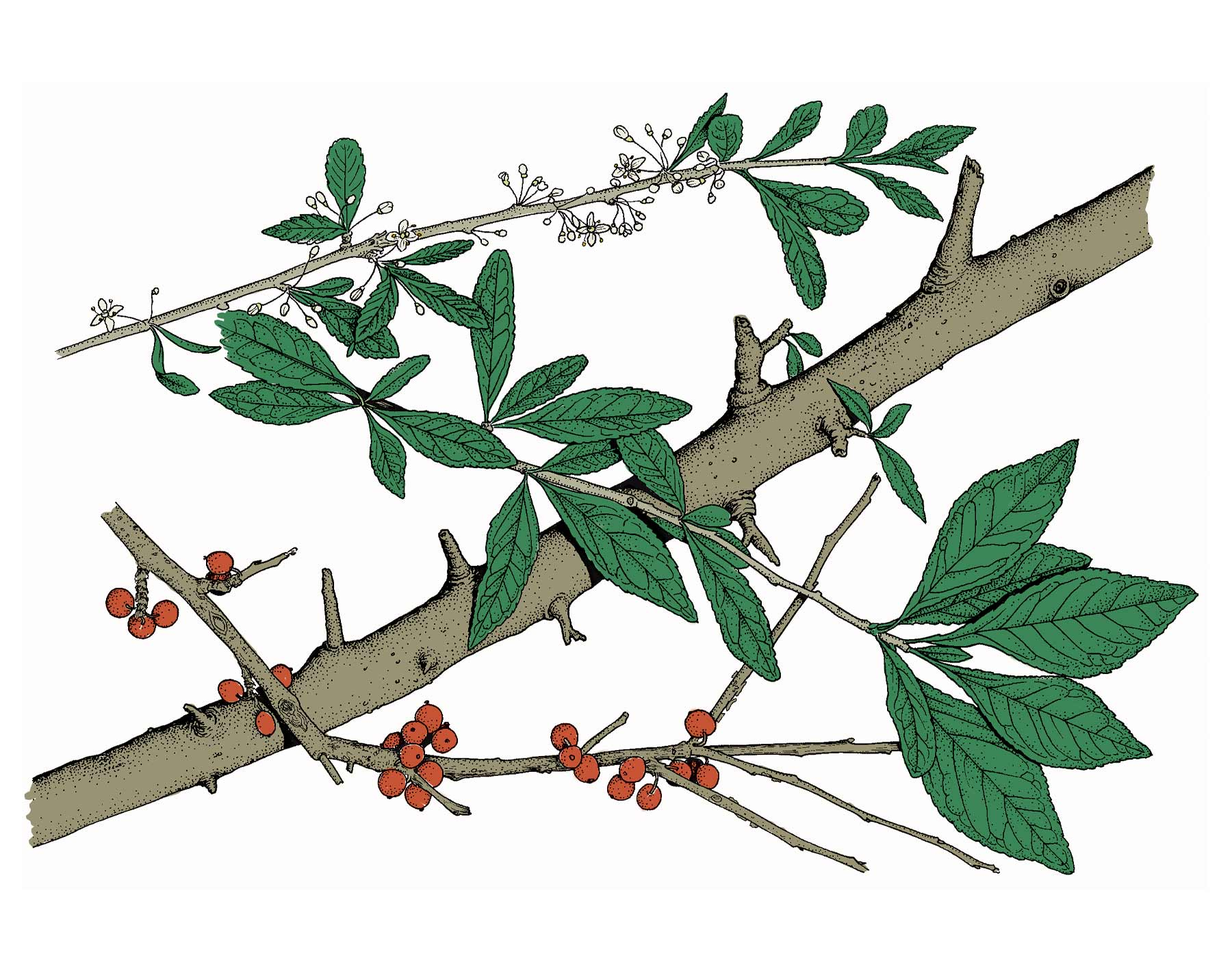 1800x1400 Possum Haw (Deciduous Holly) Mdc Discover Nature