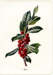 213x300 Vintage Holly And Berries Botanical Illustration Free Clip Art