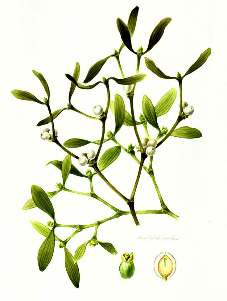 736x976 Best Mistletoe Plant Ideas Christmas Plants