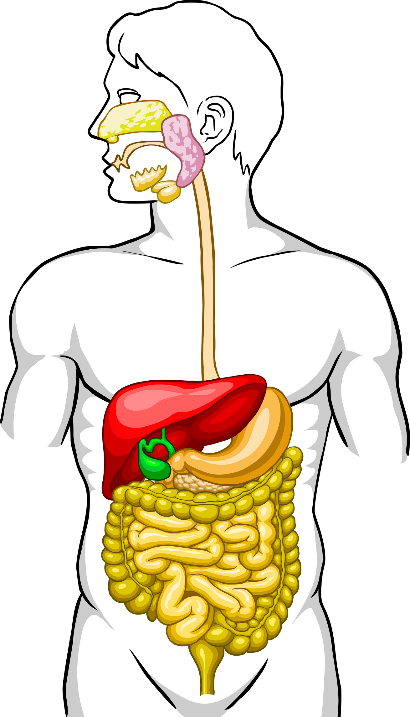 1310x2289 Digestive System With No Labels Digestive System Clip Art