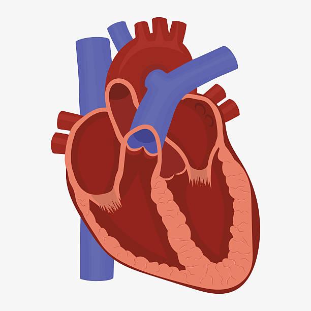 612x612 Organs Clipart Anatomical Heart