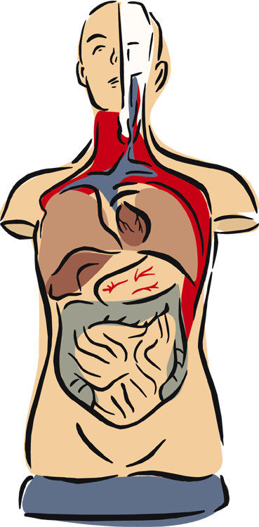 369x750 Anatomy Clipart Anatomy And Physiology