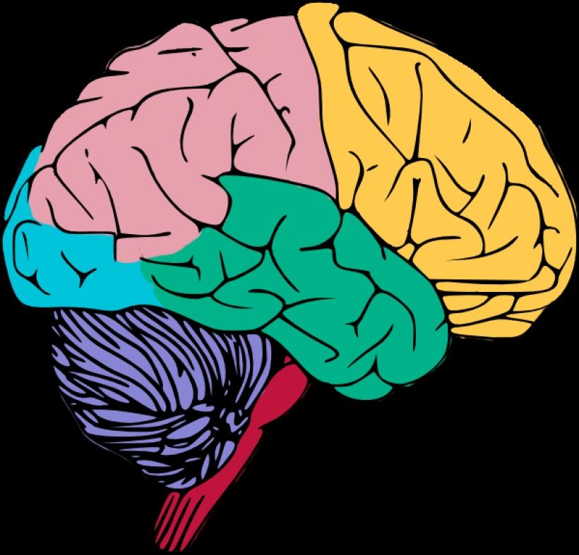 820x787 Human Brain Clipart Human Brain Clipart Free To Use Amp Public