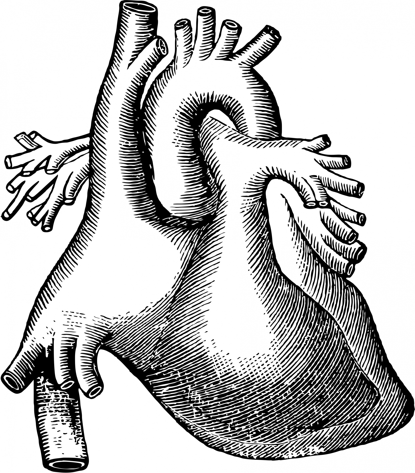Human Heart Clipart Black And White | Free download on ...