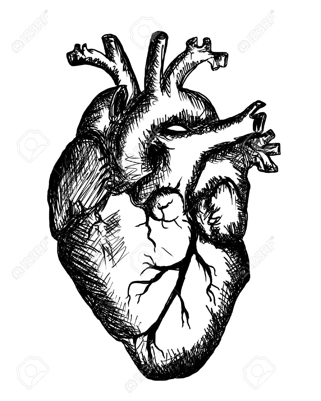 1043x1300 Human Heart Sketch With Label Human Heart Sketch Diagram Free