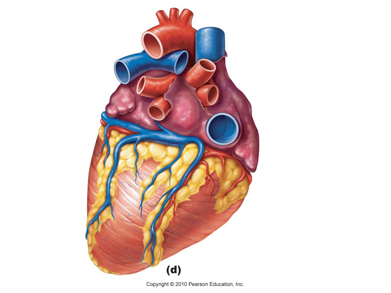 1344x1008 Heart Diagram Unlabeled Human Heart Unlabeled