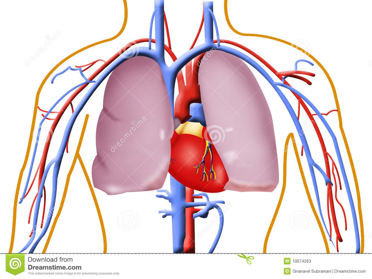 1300x974 Human Heart And Lung Pictures