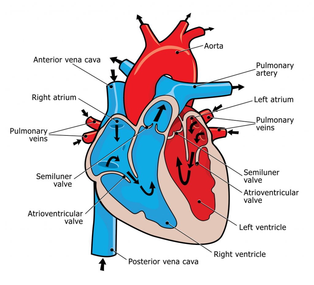 1024x930 Human Heart Diagram And Blood Flow