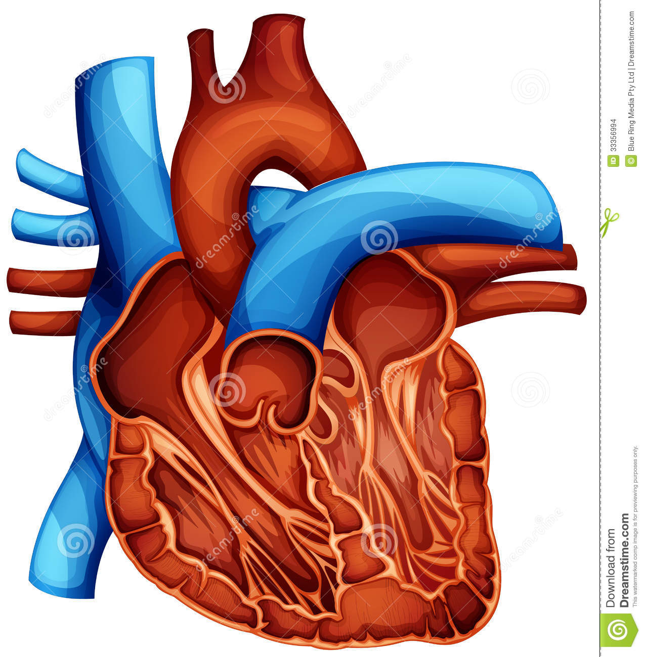 1275x1300 Human Heart Photo In Hd Human Heart Anatomy Images Images