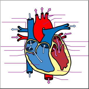 304x304 Clip Art Human Heart Cross Section Color Unlabeled I