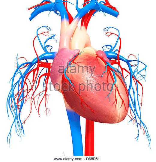 520x540 Human Heart Stock Photos Amp Human Heart Stock Images