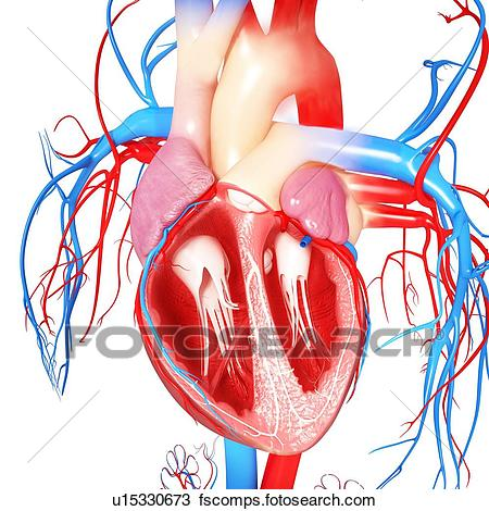 450x470 Human Heart Illustrations And Clipart. 17,129 Human Heart Royalty