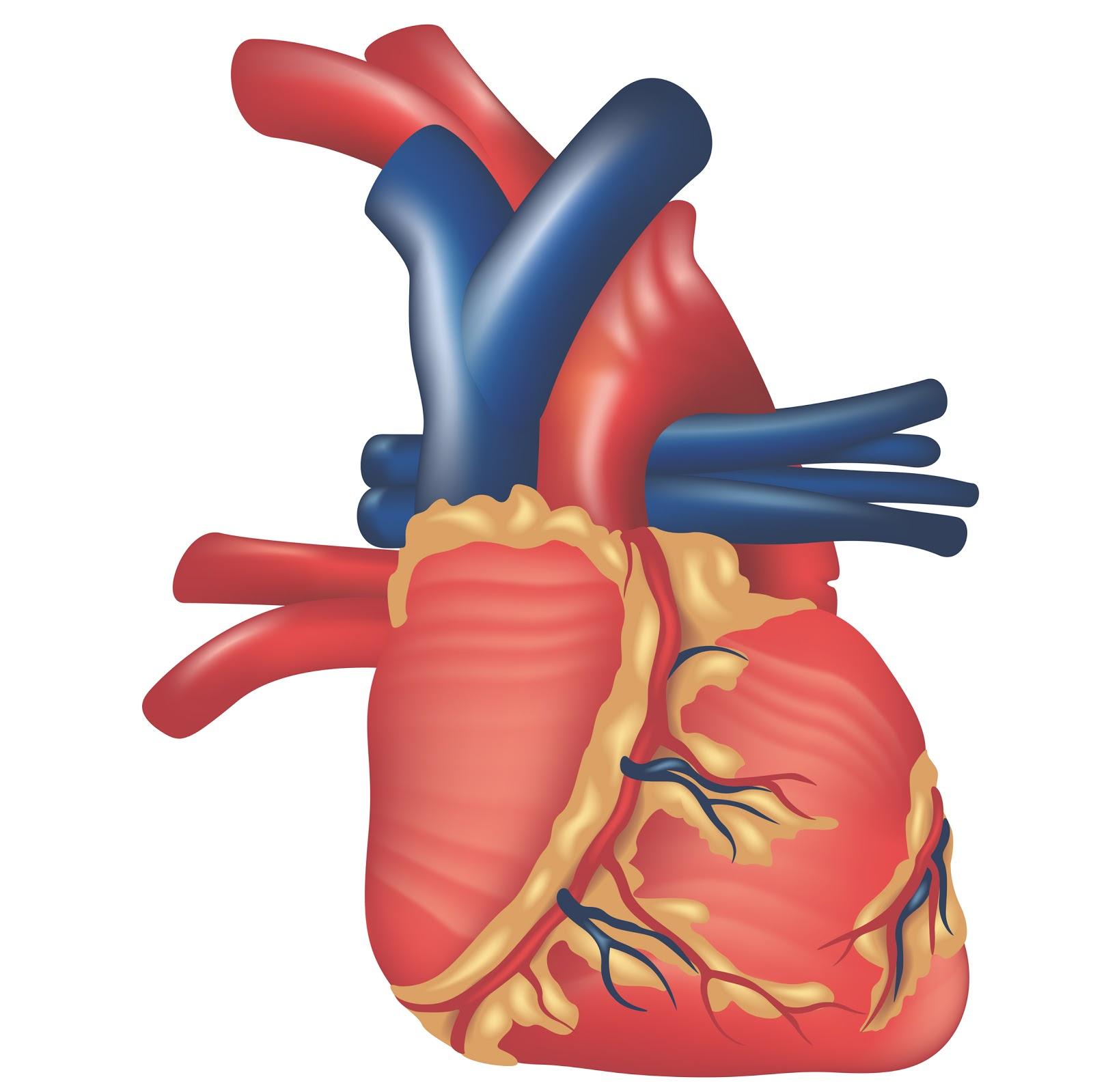 1600x1599 Simple Human Heart Diagram Simple Human Heart Diagram