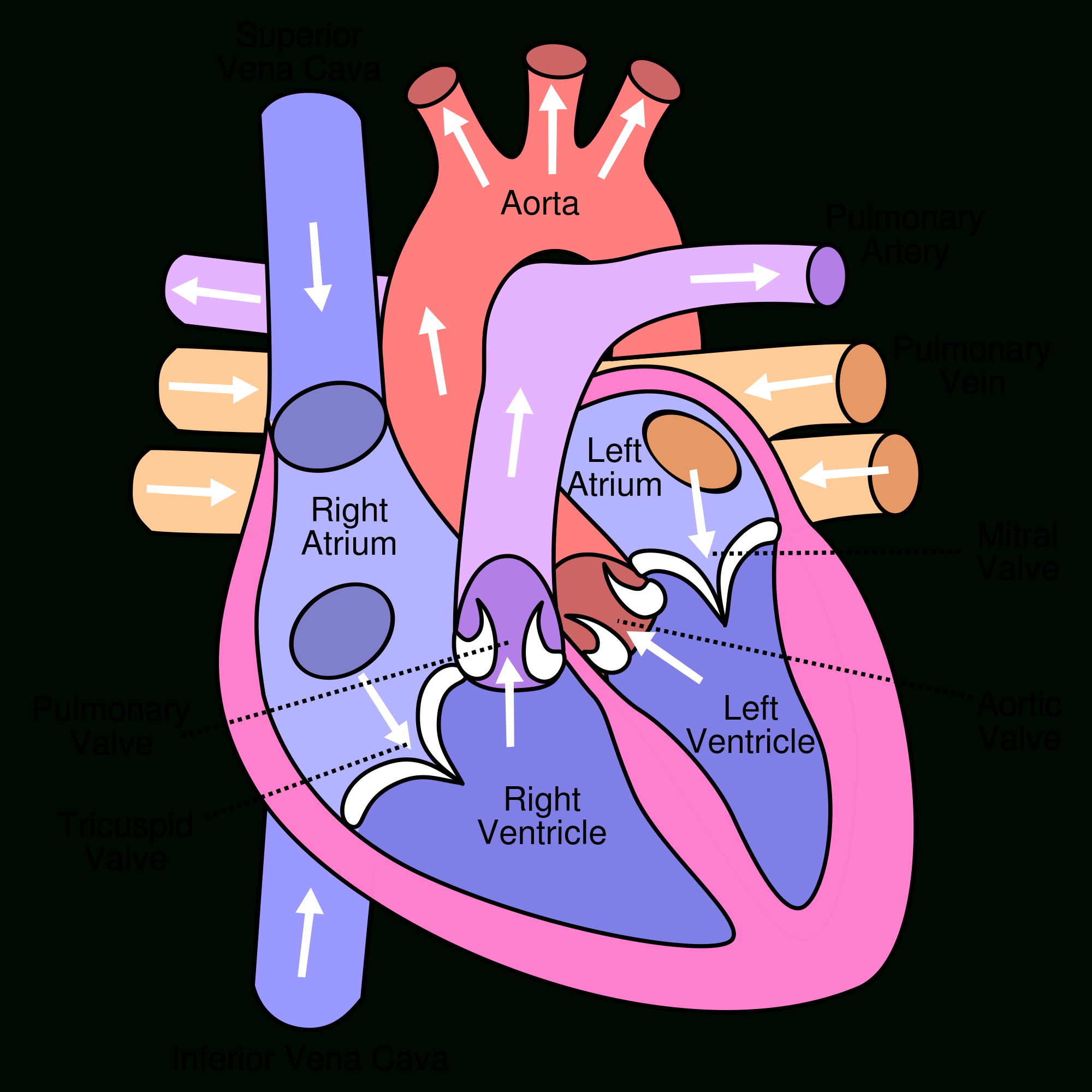 2000x2000 Simple Internal Structure Of Human Heart Heart Human Free