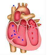 155x180 The Best Human Heart Diagram Ideas Diagram