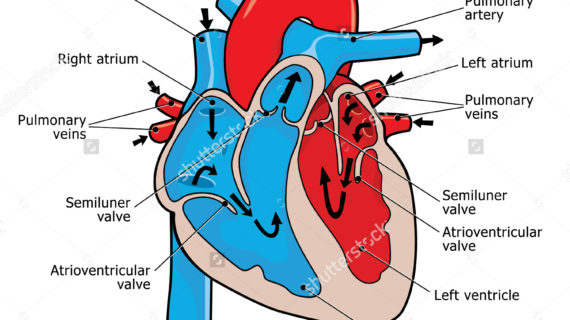 Collection of Human heart clipart | Free download best ...