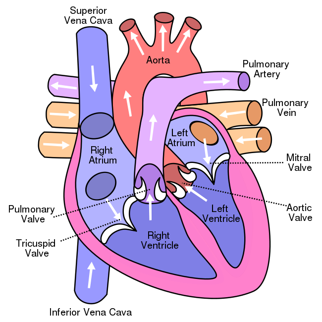 650x650 Filediagram Of The Human Heart (Cropped).svg