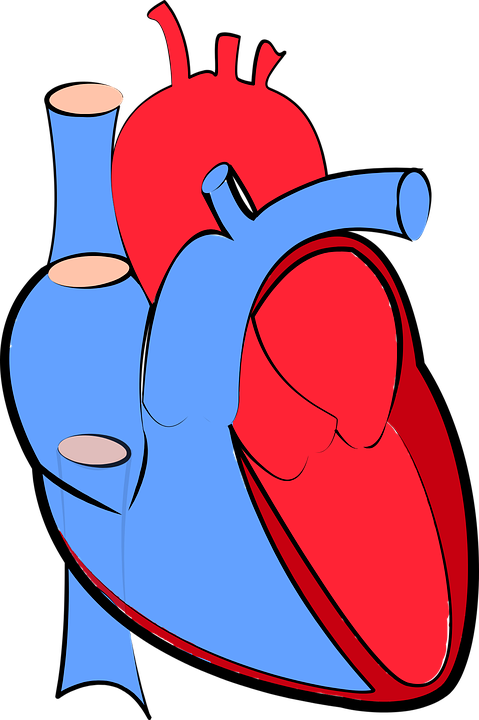 479x720 Free Photo Oxygenated And Deoxygenated Human Heart Blood Flow