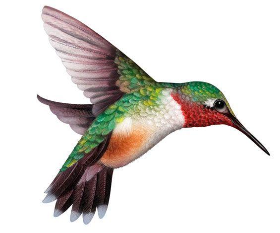 565x469 Hummingbird Clipart Hummingbird Clip Art Clipartix 3