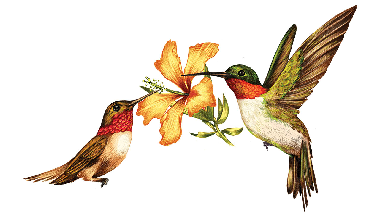 1280x720 Realistic Clipart Ruby Throated Hummingbird