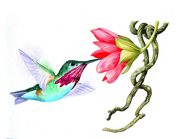 624x486 Ruby Throated Hummingbird Clip Art Ruby Throated Hummingbird
