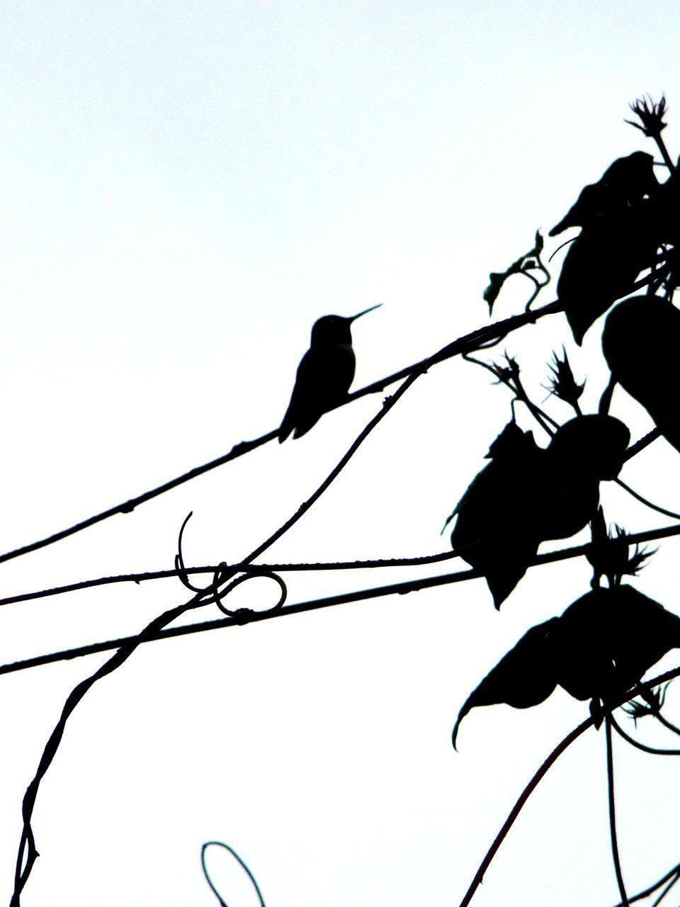 960x1280 Free Hummingbird Silhouette Clip Art