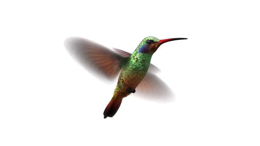 852x480 Humming Bird On White Background, 3d Animation. Set Your Own