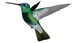 300x177 Hummingbird Myths And Fact