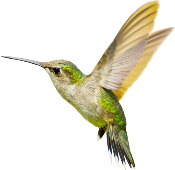 600x582 Hummingbird Png Transparent Free Images Png Only