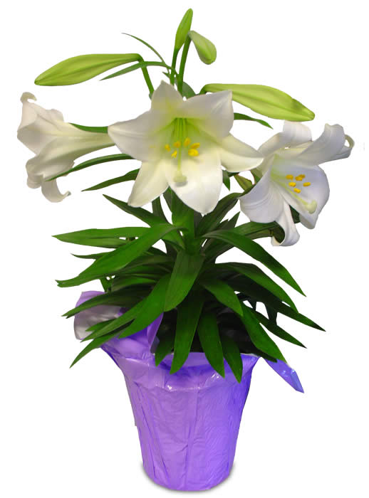 518x700 Potted Easter Lilies Clipart 1 St. John'Ssan Juan Lutheran Church