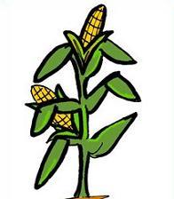 196x224 Corn Stalks Clipart