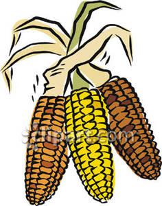 236x300 Ears Of Indian Corn