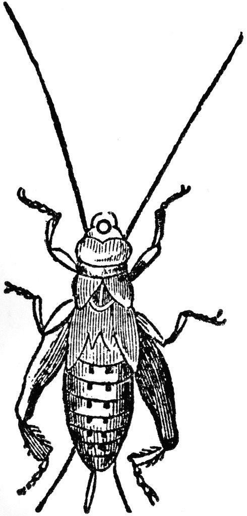 490x1024 Bug Clipart Cricket