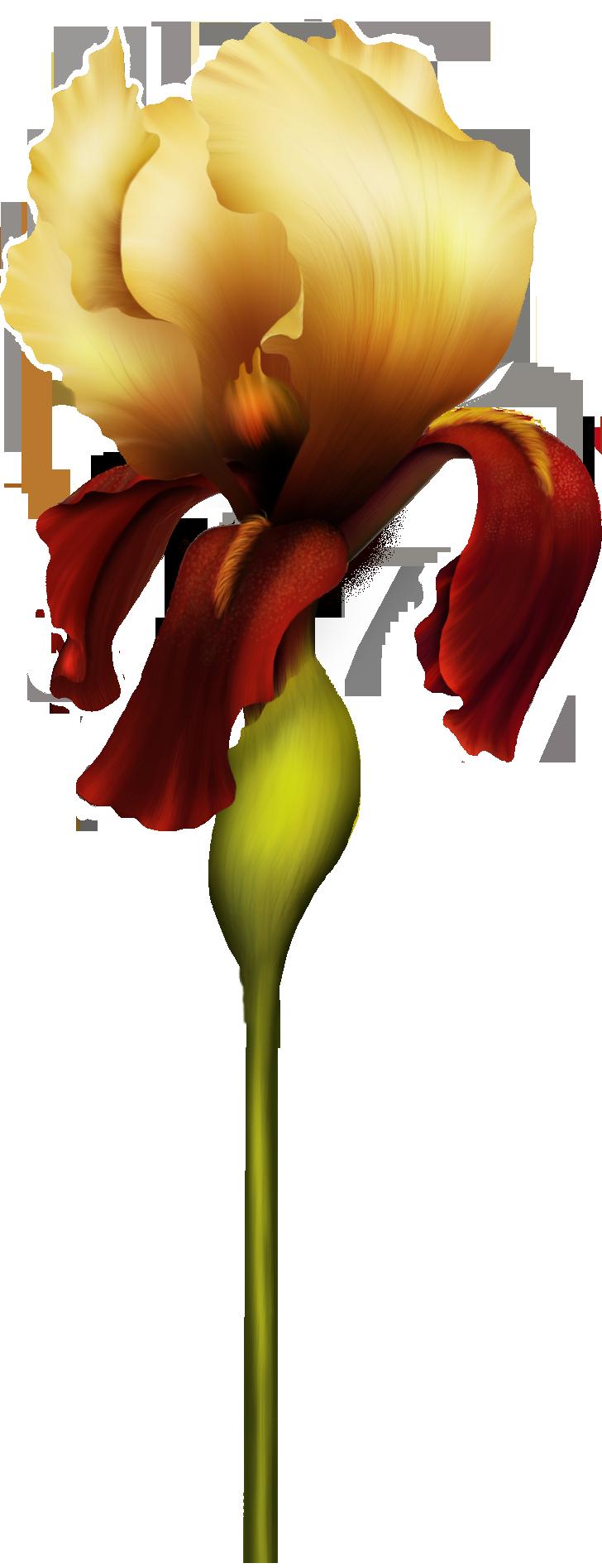 728x1894 Iris Flower Png Clipart