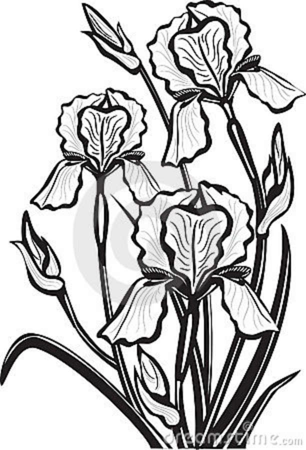 612x900 Iris Clipart Black And White