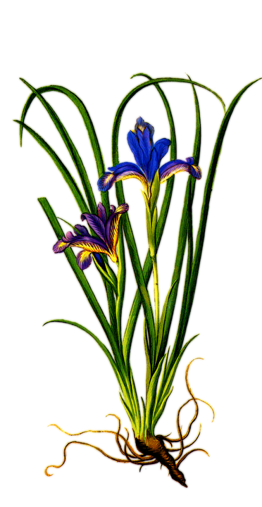 Iris Clipart | Free download on ClipArtMag