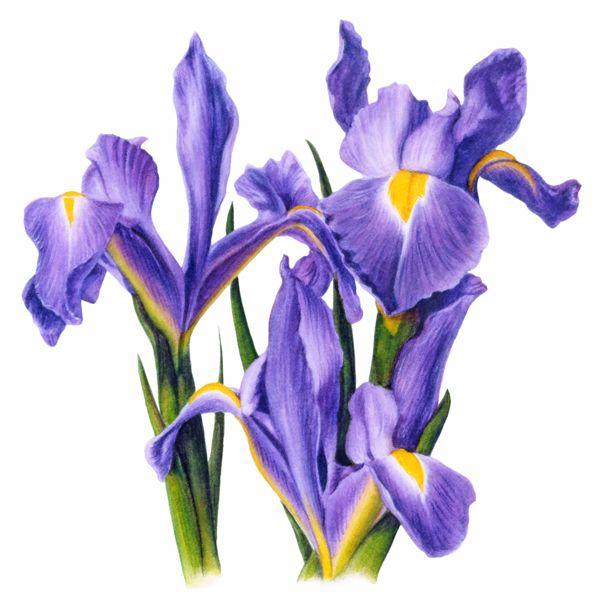609x600 Iris Clipart Spring Flower