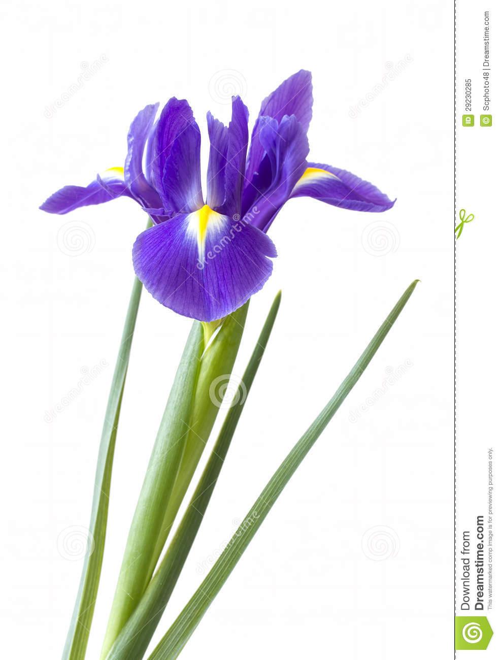985x1300 Iris Flower Clip Art