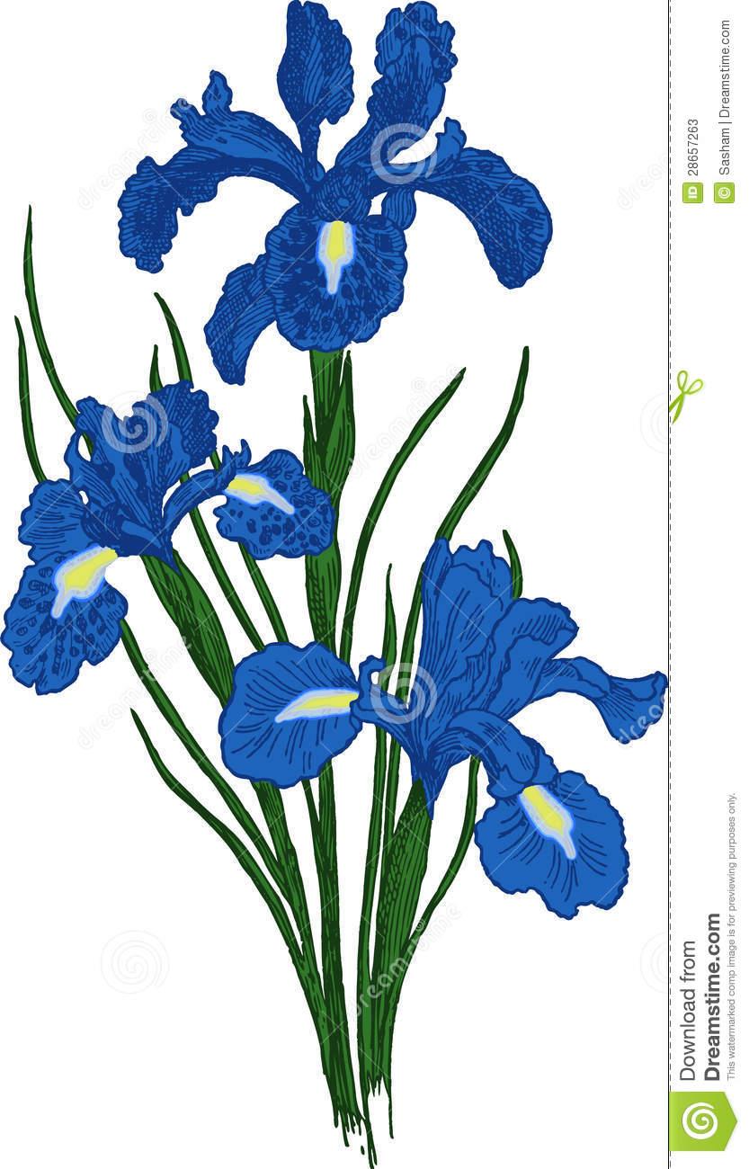 833x1300 Iris Flower Clip Art