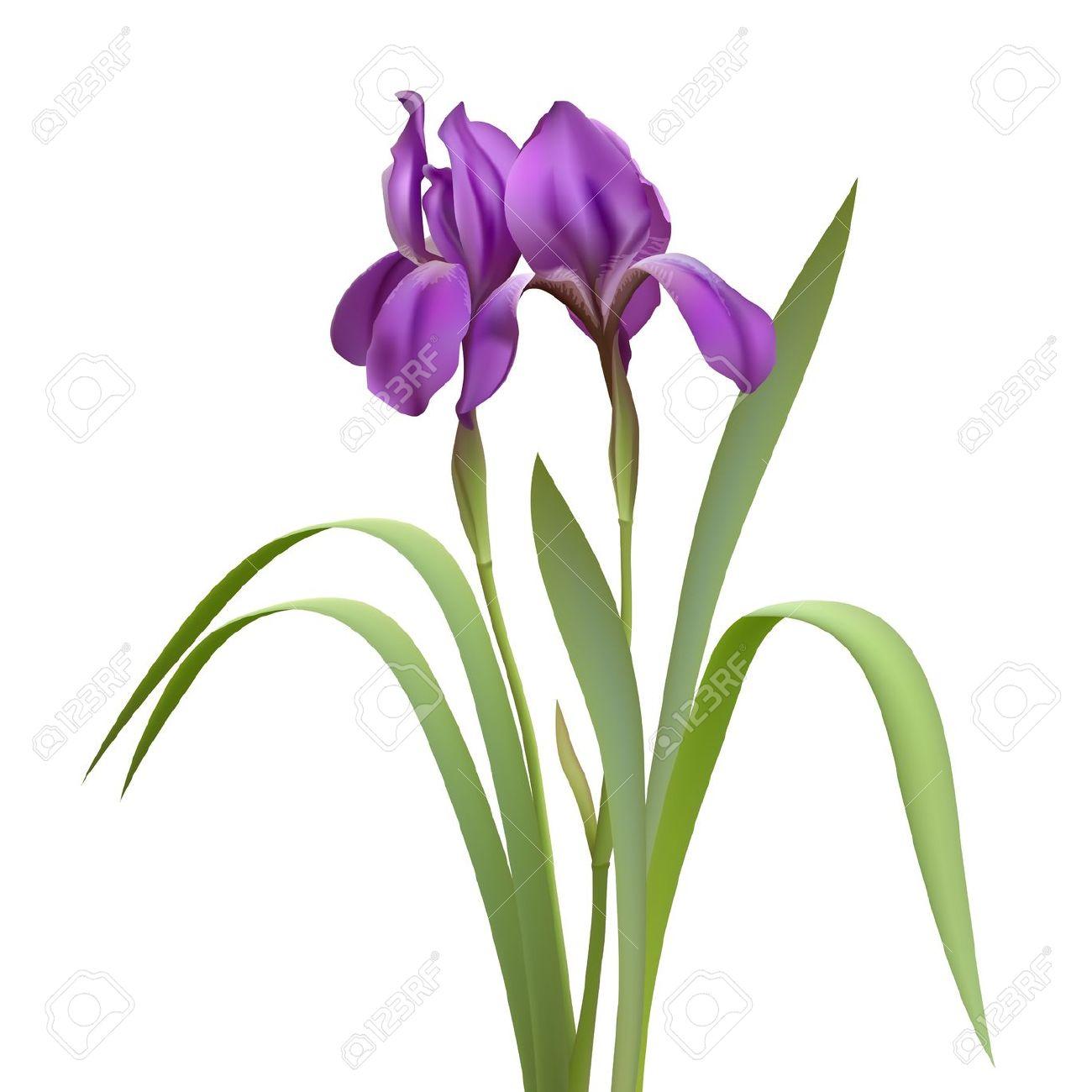 1300x1300 Iris Flower Clipart